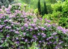 Powojniki, klematisy Clematis macropetala 'Floralia'scrambling over a Hibiscus - Glen Chantry, Essex