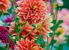 'Garden Festival' - dalia dekoracyjna, wys. 120 cm, śr. 'kwiatu' 10-15 cm.