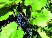 Aby winogrona dobrze dojrzewały, warto usunąć część liści, które zasłaniają im dostęp do światła.