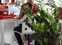 Zimmerpflanzen im B´ro: Zamio culcas mit Person SLOWA KLUCZOWE: Aronstabgew chs B´ro B´ros Deko Frau Gr´npflanze Gr´npflanzen Leute Menschen People Pflanze Pflanzen Tisch Topfpflanze Topfpflanzen Zamioculcas Zamioculcas zamiifolia Zimmerpflanze Zimmerpflanzen arbeiten Hochformat
