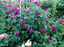 Róża francuska 'Charles de Mills'