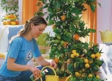 `Frau dngt Citrus sinensis ( Orange ) und Citrus mitis( Calamondinorange ) mit Flssigdnger