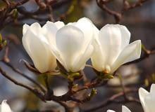 Magnolia naga jest 10-15-metrowym drzewem. Kwiaty pachnące cytryną ukazują się w kwietniu. W młodym wieku może przemarzać.