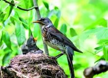 Kwiczoł może mieć nawet dwa lęgi w roku - pierwszy już w kwietniu. Młode zwykle opuszczają gniazdo po dwóch tygodniach, jeszcze jako nieloty.