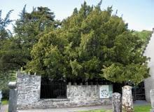 Najstarsze drzewo Europy - cis w Fortingall w Szkocji - liczy sobie ponad 2 tysiące lat.