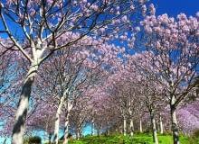 jB609MK Paulownia Plantation in Spring Flower near Takaka Golden Bay Nelson Region South Island New Zealand