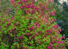Porzeczka krwista (Ribes sanquineum) to dekoracyjny krzew o wysokości do 1,5 m. Liczne grona jego szkarłatnych kwiatów (do 8 cm dł.) pojawiają się już w kwietniu (odm. 'Brocklebanki' ma różowe kwiaty i żółtozielone liście). Nieliczne czarne owoce nie są smaczne. Porzeczka ta jest wrażliwa na mróz, należy więc ją sadzić w zacisznych miejscach