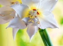 SLOWA KLUCZOWE: Budded Budding Buds Flower Flowers JEWEL Amaryllis Hippeastrum Blossom Nature Plant Red Blossoming Blooming Flowerhead Flower Cut Blossoms Close Up