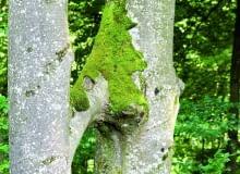 Gałąź buka rosnącego z lewej strony wrosła w pień tego z prawej. Ich wiązki przewodzące się połączyły i soki przepływają z jednego do drugiego drzewa.