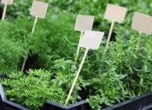 Sadzonki sałaty i ziół, nadające się od razu do spożycia powinny być dobrze rozrośnięte. Lepiej, żeby jeszcze nie kwitły.