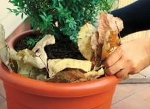 Liście to dobry materiał izolacyjny. Upychamy je pomiędzy donicą z rośliną a dodatkowym pojemnikiem.