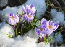 KROKUS WIOSENNY 'PICKWICK' zakwita pod koniec marca.