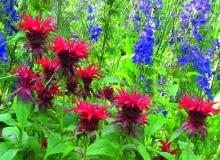 W ogrodzie nie ma wytyczonych rabat - pysznogłówki i ostróżki tworzą barwny gąszcz.