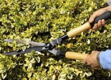 Żywopłot z roślin zimozielonych tniemy w marcu i drugiej połowie lata