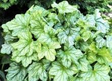Liście żurawki 'Mint Julep' mają oryginalny odcień zieleni. Bardzo ładnie komponują się np. z iglakami.