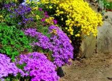 Barwne plamy miniaturowych różowych floksów i żółtej smagliczki będą wspaniałą ozdobą ogrodu.