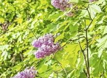 LILAKI CZĘSTO wypuszczają liczne odrosty i dlatego krzewy nadmiernie się rozrastają.