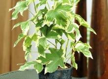 Efeuaralie (Fatshedera lizei Variegata) - mit panaschierten Bl ttern SLOWA KLUCZOWE: Efeu Gr´npflanzen Hedera Topfpflanzen Visions Pflanze Pflanzen eingetopft gr´n Hochformat