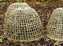 Wrażliwe byliny bezpiecznie przezimują pod czapą usypaną ze zdrowych suchych liści, najlepiej buka, dębu lub topoli, przykrytych ażurowym koszem.