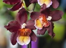 Odontoglossum haryanum - jedna z odmian.