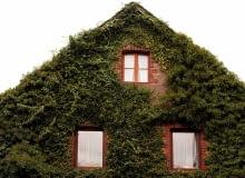 Pnączy nie można sadzić przy starych, sypiących się tynkach