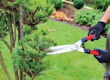 Nożyc szpalerowych używamy do cięcia stożków. Mają długie ramiona iostrza, co ułatwia uzyskanie równej linii cięcia. Zaczynamy przycinać roślinę od dołu, akończymy na wierzchołku. Niewprawnym wcięciu radzę do stożków przyłożyć bambusowe kijki ipo nich prowadzić nożyce.
