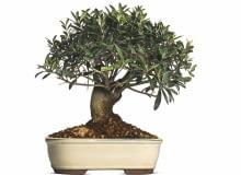 OLIWKA, także prowadzona jako drzewko bonsai, potrzebuje zimą chłodu i sporo światła. Niekiedy w tym czasie zrzuca liście.