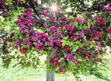 Najbardziej popularną odmianą ozdobną głogu jest Paul's Scarlet. Drzewo ma kulistą koronę i pełne kwiaty karminowej barwy; dorasta do 4-6 m