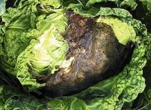 Szara pleśń na salacie