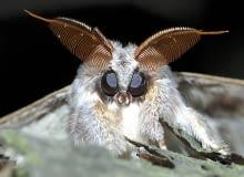 Ćmy. Imponujące grzebieniaste czułki samca potwory buczynówki pełnią funkcję nosa służącego do wykrywania feromonów samicy