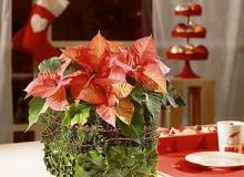 Ozdoby i dekoracje świąteczne na Boże Narodzenie z gwiazdy betlejemskiej. MATERIAŁ: poinsecja, ostrokrzew, dekoracyjne szpilki i sznurek, 2 kostki suchej gąbki florystycznej. Aranżacje i zdjęcia: Stars for Europe