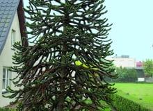 W Mrzezinie koło Pucka rośnie w gruncie dorodna araukaria chilijska, jedna z największych w Polsce. Obok niej piękny okaz aukuby - rośliny równie wrażliwej na mróz.