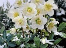 CIEMIERNIK BIAŁY wychyla kwiaty spod śniegu, który do pewnego stopnia chroni roślinę przed mrozem