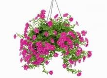 Balkon, z którego kolorową falą spływa bujny gąszcz kwiatów, z pewnością zwróci uwagę każdego przechodnia. <BR /> BALKONY. Surfinia jest obsypana okazałymi kwiatami w&#8200;różnych kolorach - od bieli po granat; niektóre odmiany, przeważnie fioletowe, przyjemnie pachną. Dobrze rośnie w pełnym słońcu i w żyznej ziemi. Nie można zaniedbać nawożenia ani podlewania (podczas upałów nawet dwa razy dziennie), bo raz raz&#8200;zasuszona padnie ofiarą chorób i szkodników. Źle&#8200;znosi opady i&#8200;wiatr, nie nadaje się więc na wysoko położone balkony, narażone na silne podmuchy.