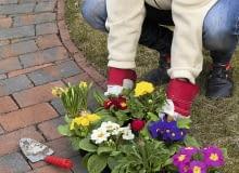 Wiosenne gatunki, które w pełnym rozkwicie trafiają do sprzedaży, warto wysadzić w ogrodzie, np. wzdłuż ścieżki przy domu.