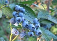 Borówka wysoka, inaczej amerykańska (Vaccinium corymbosum). Owoce