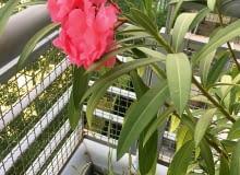 Kasia Milewska, Warszawa: Pelargonie obsypane kwiatami, koleusy obarwnych liściach, drzewko szczęścia iwiele aromatycznych ziół, a do tego (poniżej) dorodny oleander - taka roślinna oprawa odpowiada nie tylko nam, ale inaszym kotom.