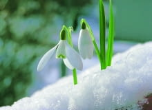 Zdarza się, że przebiśniegi mogą zakwitnąć już w lutym. Dlatego nazywane są zwiastunami wiosny