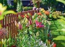 Przy płocie prężą się wyniosłe lilie i czosnki ozdobne.