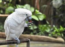 Biała kakadu szybko przywiązuje się do opiekuna, ale też potrzebuje sporo uwagi. Pozostawiona na dłużej bez opieki, może spowodować zniszczenia, a nawet samookaleczenie.