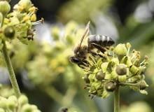 Dla nas bluszcz jest rośliną trującą, ale dla pszczół i ptaków nie.