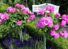 VReich blhende Hochstammrosen der Sorte Leonardo da Vinci von Meilland im Rosengarten