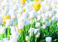 Tulipany jak malowane