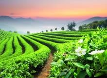 Krzewy herbaty na plantacjach są mocno przycinane. Tylko niektóre kwitną.