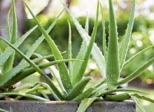 Aloes drzewiasty jest mniej wymagający niż spiralny (na zdjęciu w kółku). Ten ostatni łatwo zalać.