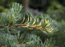 Pinus parviflora 'Fukai' SLOWA KLUCZOWE: drzewa iglaste