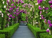 Wonny pasaż z kwitnących pnących róż zacienia alejkę w tym dużym ogrodzie.