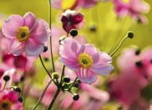 ZAWILEC JAPOŃSKI (ANEMONE HUPEHENSIS) należy do rodziny jaskrowatych (Ranunculaceae). Zakwita na jasnoróżowo. Ma szerokie zastosowanie w ogrodzie - można zdobić rabaty, brzegi oczek wodnych, ogrody skalne i kompozycje naturalistyczne. Na jednym metrze kwadratowym sadzi się ok. pięciu sadzonek.