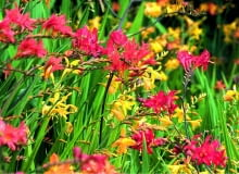 LMixed Crocosmia taken at the National Collection of Crocosmia, Lincolnshire.