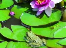 Żaba wodna